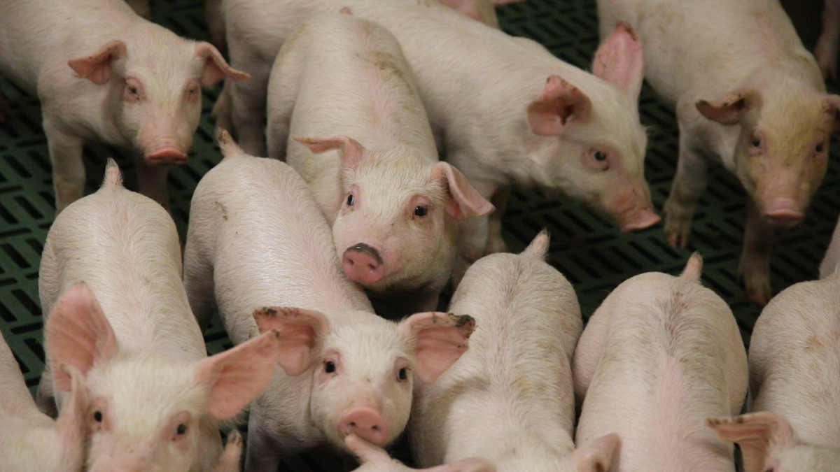 UK TV authority receives over 350 complaints for 'How to Steal Pigs'