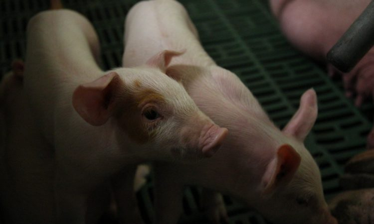 Oireachtas committee to discuss introduction of pig levy