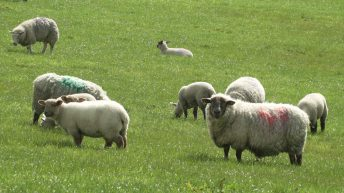 The threat of Brexit continues to hang over sheep sector in Northern Ireland