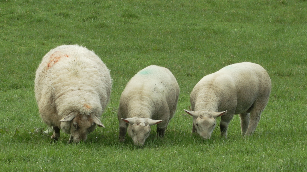 Blowfly strike: A complete guide for farmers