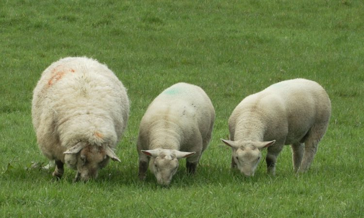 Grass remains the priority feed for sheep