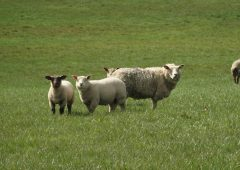 55% of sheep farmers work full-time on the farm – IFAC