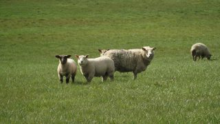 Are worm burdens affecting the performance of your lambs?