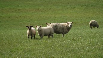 IFA leaves processors 'in no doubt' on sheep farmers' anger