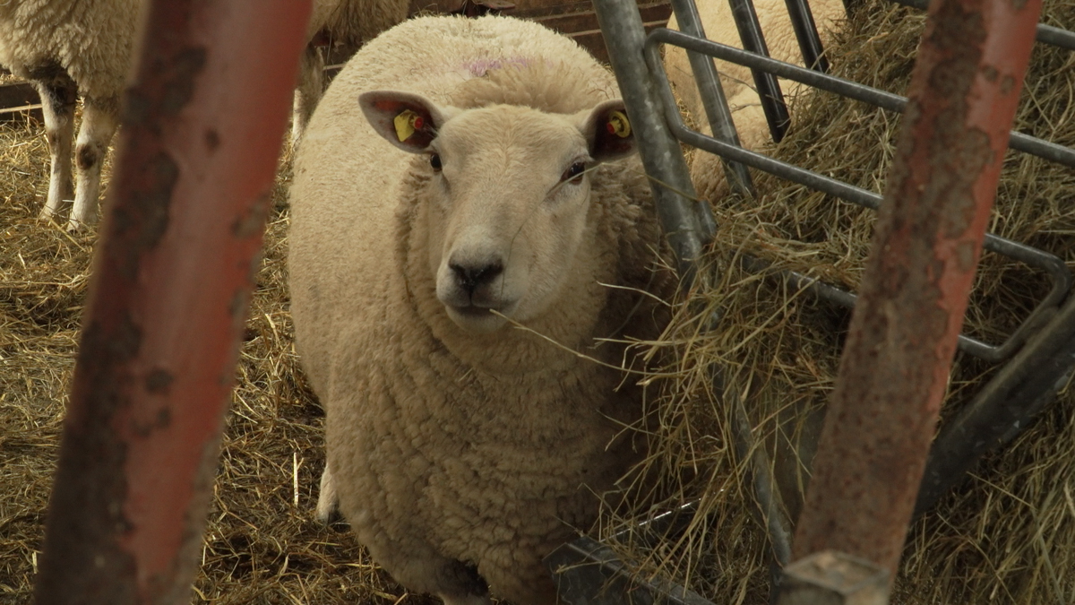Marts 'in limbo' ahead of Saturday's tagging regulation changes