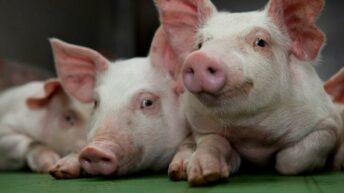 Average pig price set to cross 'record-breaking €2/kg'