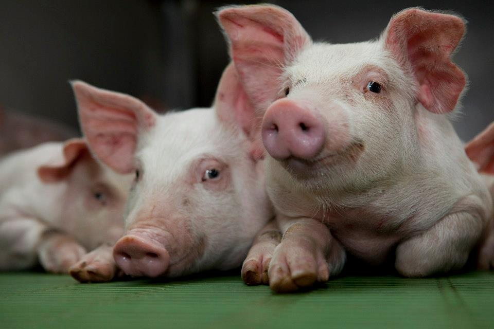 €500,000 funding announced for pig farmers' initiative