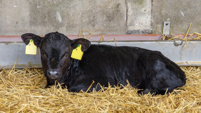 Reducing night-time calvings this spring