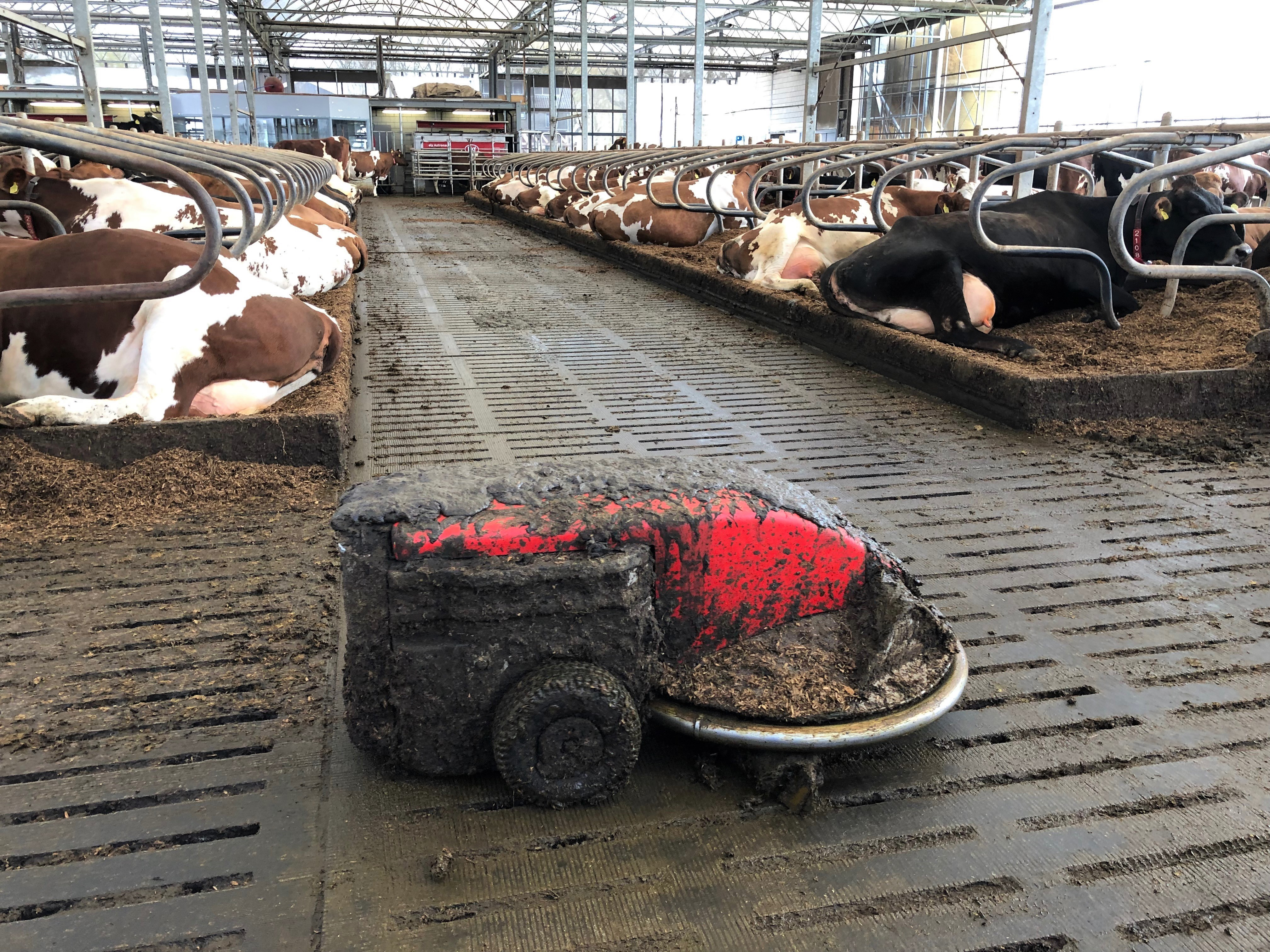 The barn also has a lely discovery for scraping manure off the slates as well as a lely l4c light for cows lighting system for longer daylight hours