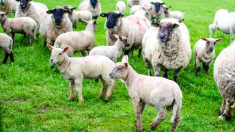 International researchers seek farmer views on rearing triplet lambs