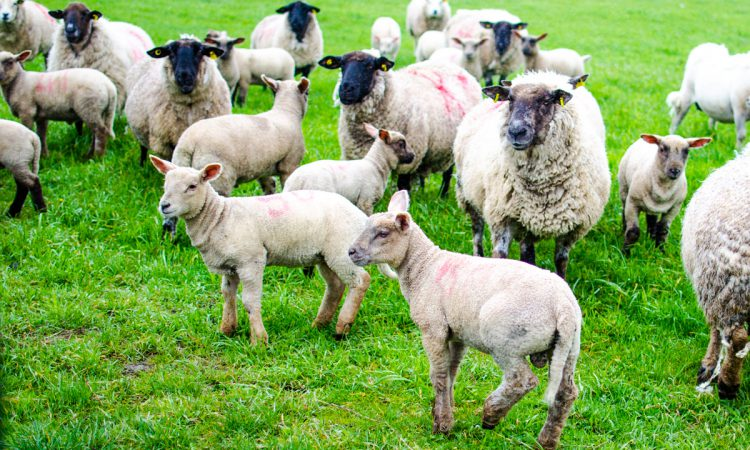 New farm report points to 'low investment' in sheep sector
