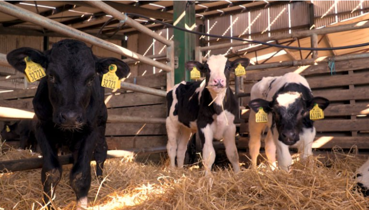 The importance of calf health and vaccination discussed in Co. Kildare