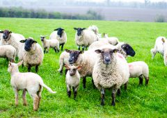 IFA presents election proposals on sheep to Creed