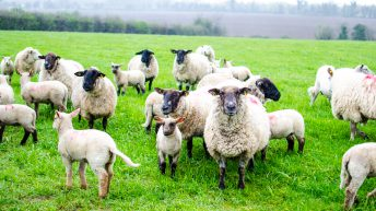 What do farmers need to know about new sheep tagging rules?