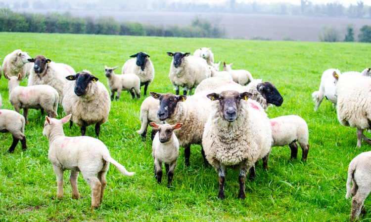 NI awareness event to highlight early symptoms of infectious sheep disease