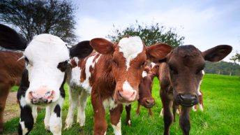 'Farmers need to look at how many dairy-bred heifers they need on their farm'