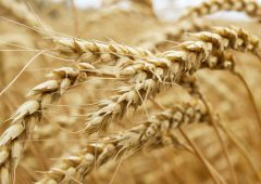Grain price: Australian wheat production takes massive jump