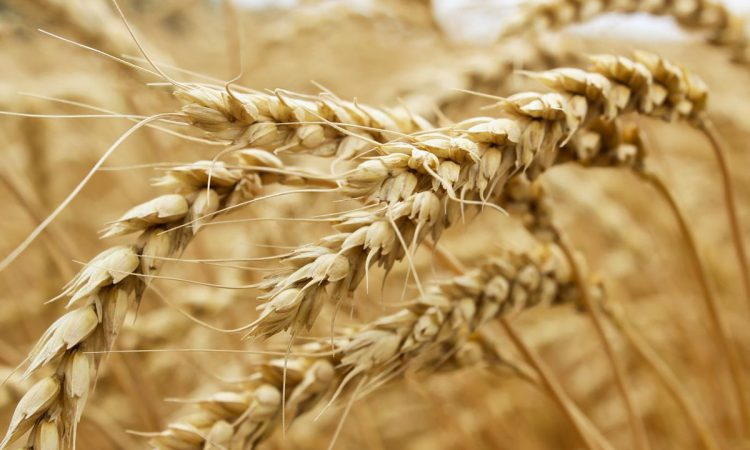 Winter cereal yields revised downwards by European Commission