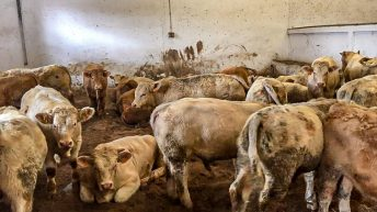 Live exports: Irish slaughter-weight bulls a step closer to Algerian market