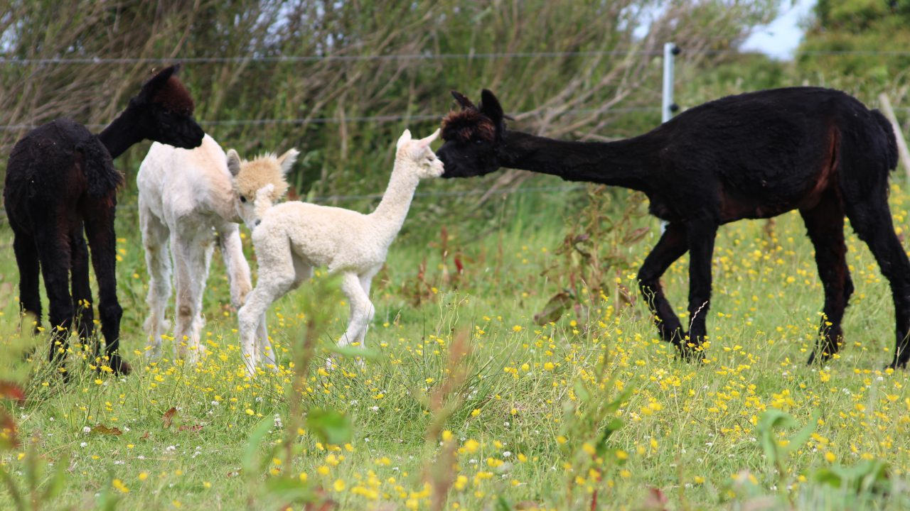 Meet the couple who downsized…to an alpaca farm