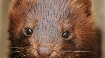 'Urgent ban' on mink farming in Ireland called for