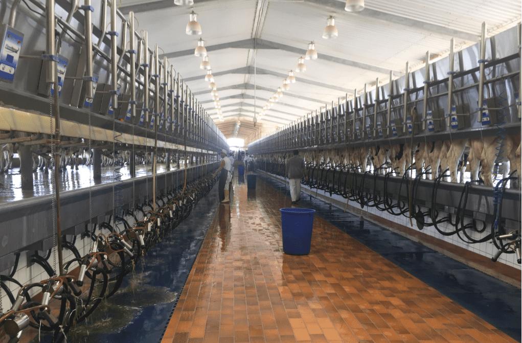 Job position now available on Saudi Arabian dairy farm