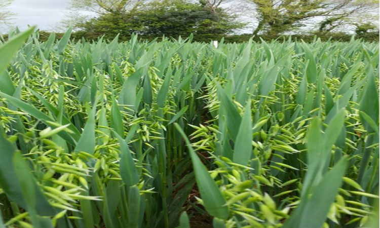 Oats: Why the final fungicide can make a real difference