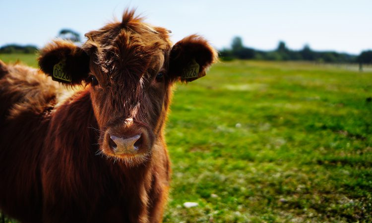 Lower emissions from cattle manure than previously thought – new research
