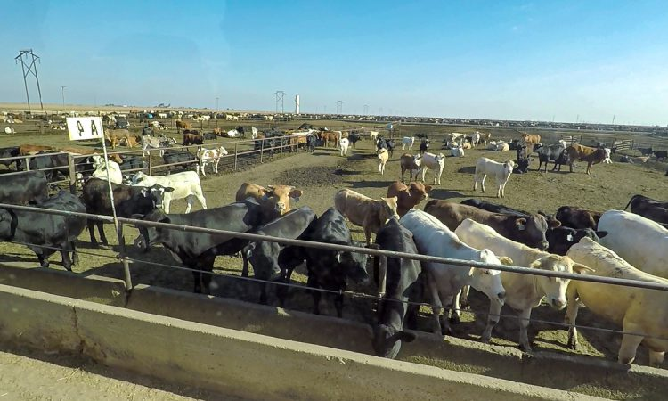 Beef focus: Inside the gates of a 50,000 head feedlot in Texas