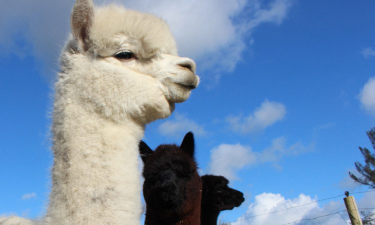 'Alpacas are docile but need assertive handling'