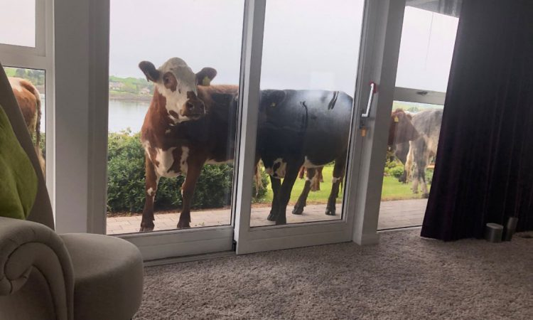 'Thought I was getting raided': Broadcaster on bovine break-in
