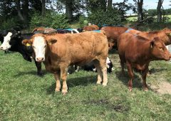 Managing replacement heifers and reaching target weights at mating