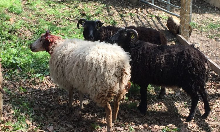UK teens arrested for throwing stones at sheep