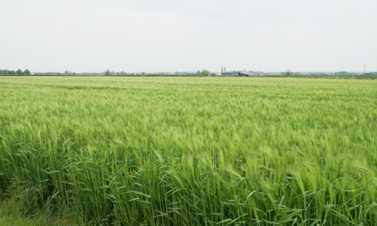 CROPS WATCH: BYDV a concern in winter barley