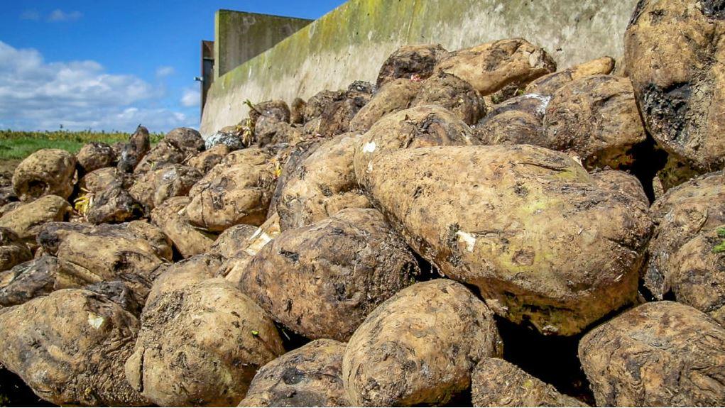 Beet Ireland 'postpones plans to revive the industry in Ireland'