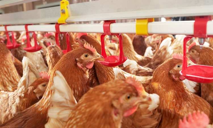 Poultry red mites: How can they affect the bottom line?
