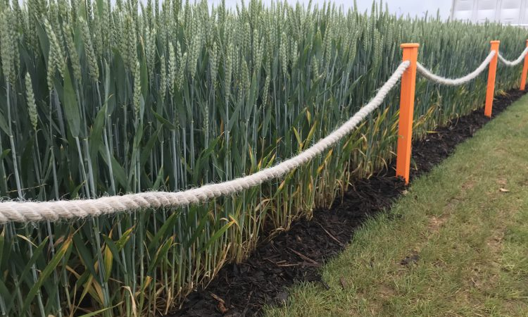 Up and coming varieties in the UK from Cereals 2019