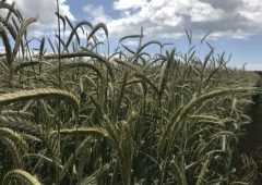 Is rye an alternative to maize and triticale for whole crop?