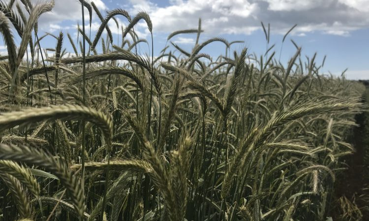 Is rye an alternative to maize and triticale for wholecrop?