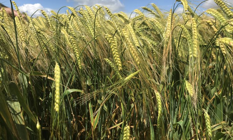 Winter barley hits record area – 80,000ha; but challenges lie ahead