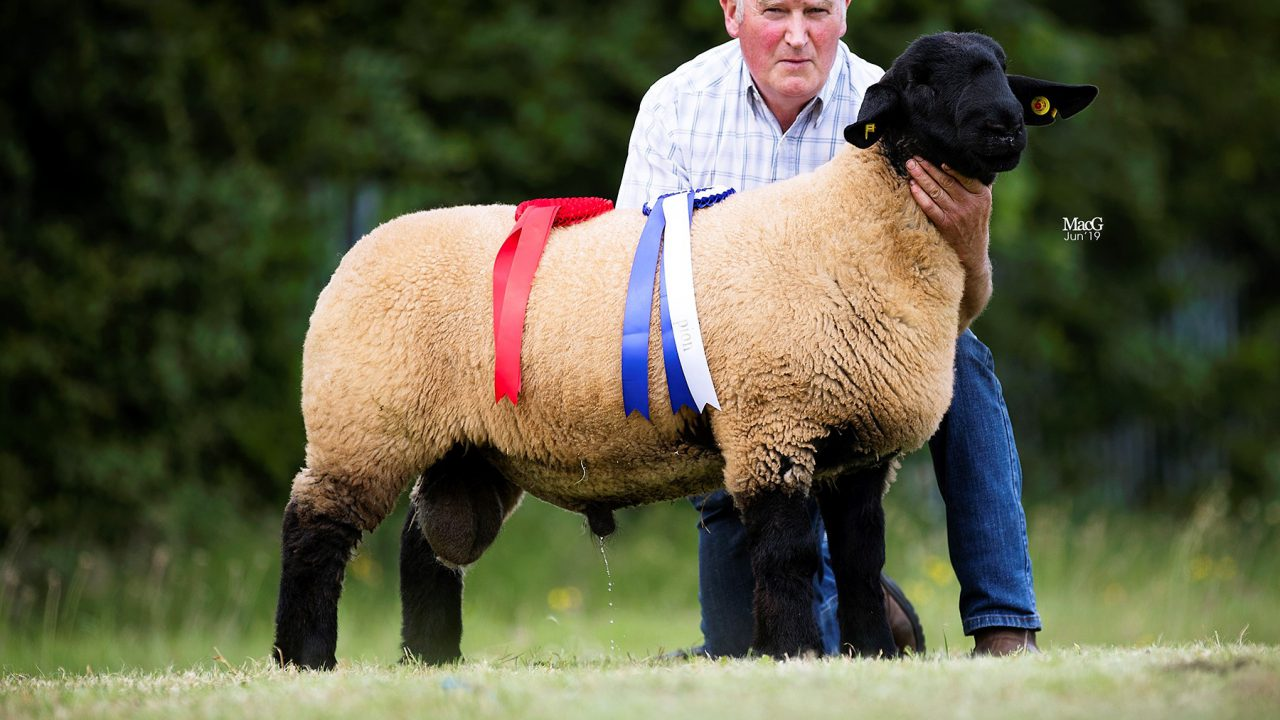 Winners announced at national Suffolk sheep championships in Kilkenny