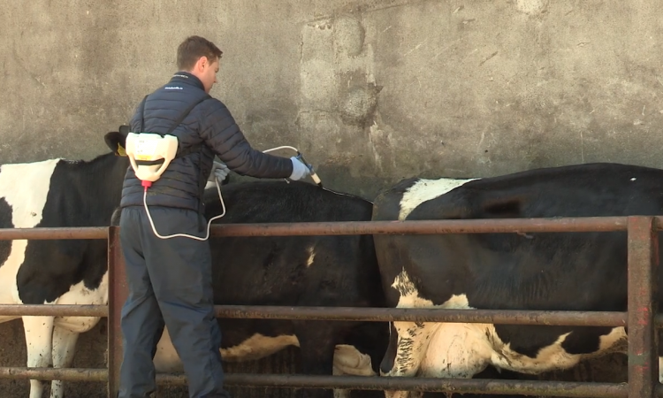 Video: Perfect weather this June for flies; have you protected your herd?