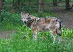 Wallace proposes reintroducing grey wolf to combat bovine TB