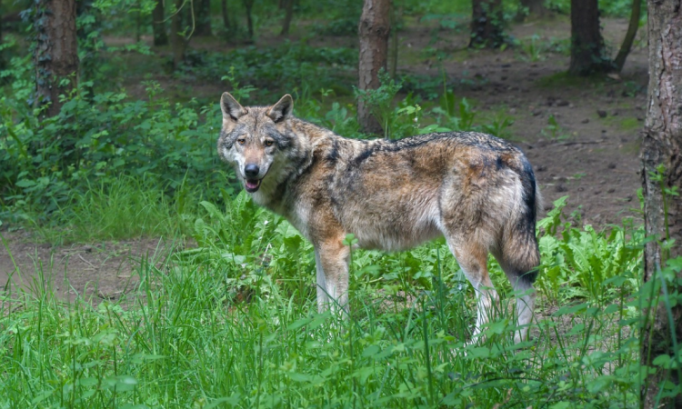 Minister rejects Green calls for reintroduction of wolves