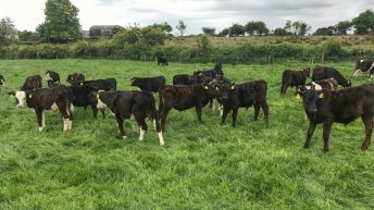 What are the target weights for my spring-born calves during the first grazing season?