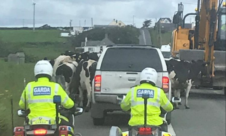 Cows get 'presidential' treatment with Garda 'escort'