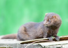 Fur farming to be phased out in 'orderly wind-down of sector'
