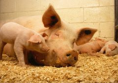 Is leptospirosis lurking on your farm?