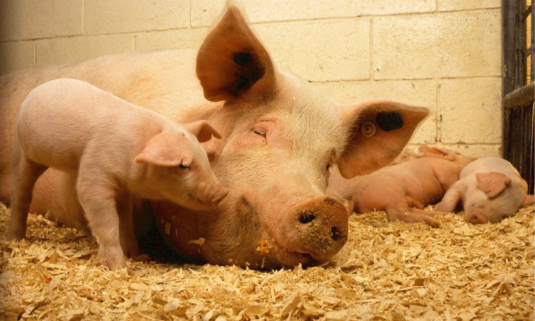 Challenges to reproductive performance in pigs