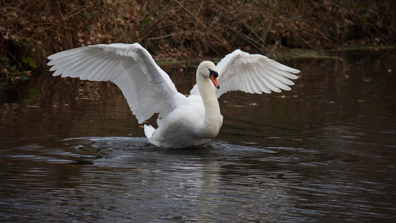 Swans and snails take centre stage at wind farm hearing, but why?